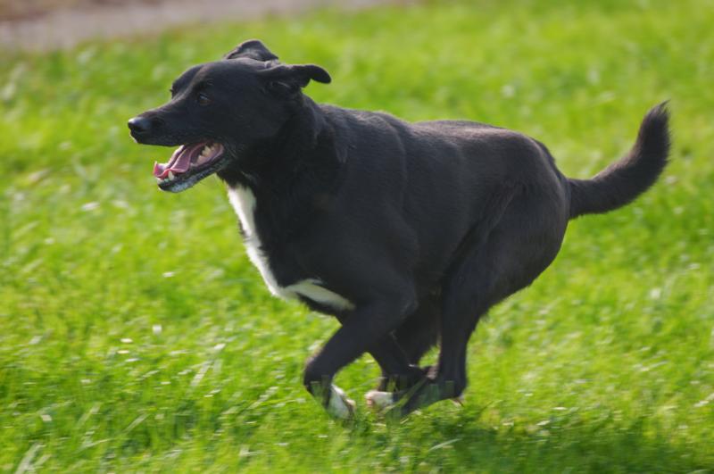 Bildertagebuch - Black Socks: echter Traumhund, der bisher viel Pech hatte! - wird über andere Orga vermittelt. 23585005rk