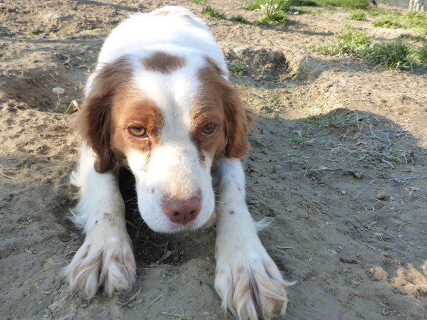 Bildertagebuch -  Polly: kleine Bretonenmaus möchte endlich rennen, Spaß haben und knuddeln - hat in ITALIEN ihr ZUHAUSE gefunden! 23644836yf