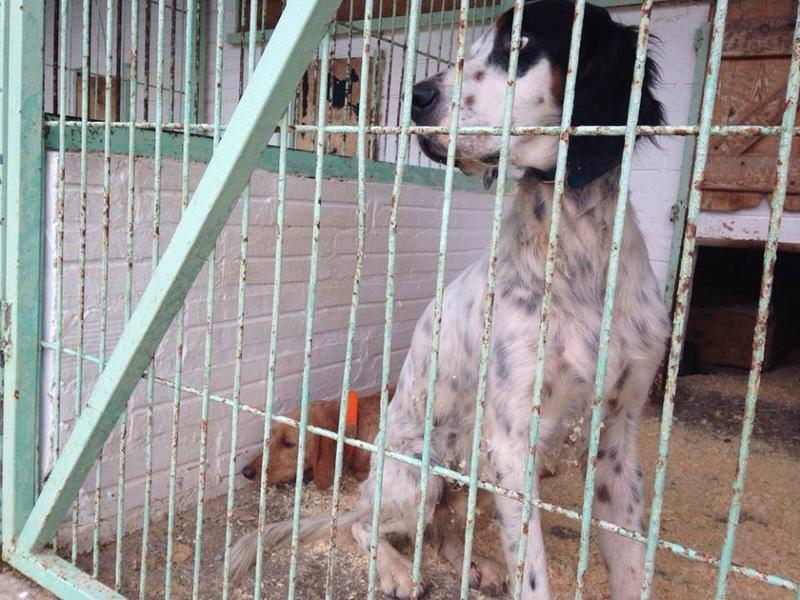 Lanu - junger Setterbub aus Berga braucht Hilfe 23659292nn