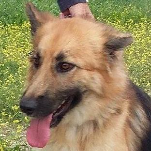 Bildertagebuch - Chiara, traumhaftes Schäferhundmädchen die sich über jede Zuwendung freut ... VERMITTELT! 24397901lc