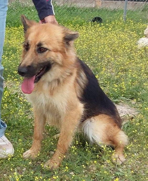 Bildertagebuch - Chiara, traumhaftes Schäferhundmädchen die sich über jede Zuwendung freut ... VERMITTELT! 24397902qb