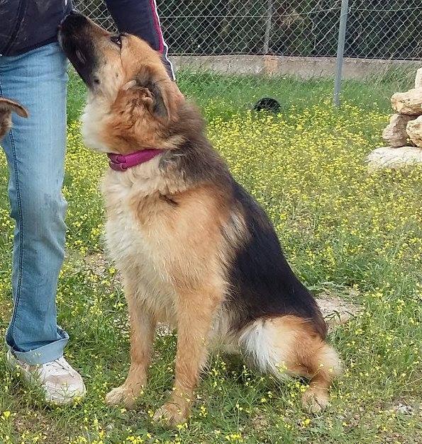 Bildertagebuch - Chiara, traumhaftes Schäferhundmädchen die sich über jede Zuwendung freut ... VERMITTELT! 24397903la