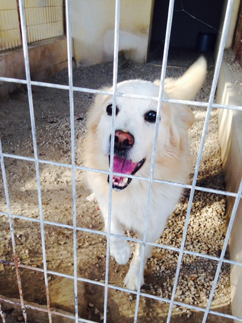 Bildertagebuch -  Bianco: grausam misshandelt sucht Hundeprofis denen er vertrauen kann - VERMITTELT - 24475604dm