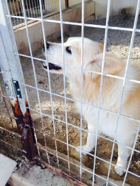 Bildertagebuch -  Bianco: grausam misshandelt sucht Hundeprofis denen er vertrauen kann - VERMITTELT - 24475605uy