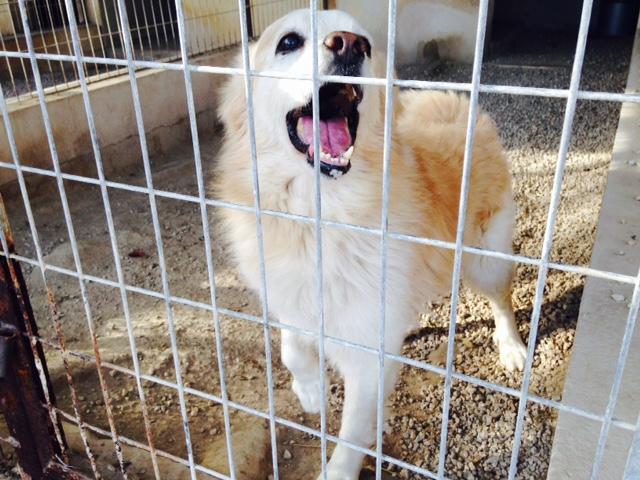 Bildertagebuch -  Bianco: grausam misshandelt sucht Hundeprofis denen er vertrauen kann - VERMITTELT - 24475606ld