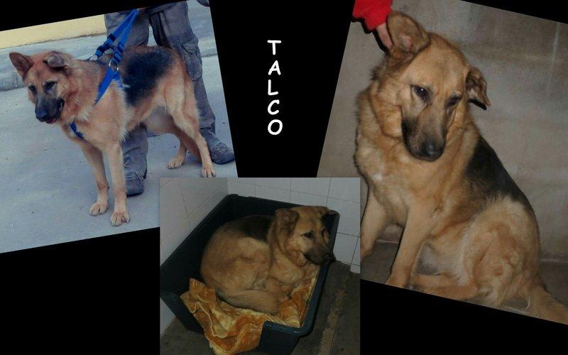 Bildertagebuch - Talca: entzückende, ältere Schäferhunddame sucht Liebe und Verständnis! 24494102sd