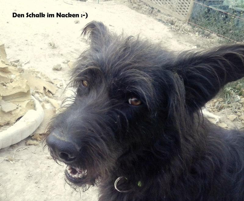 Bildertagebuch - Shrek, hübscher Terrier Mischling... -VERMITTELT! 24504800xs