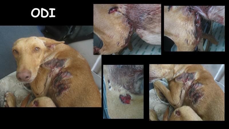 Bildertagebuch - Odi, eine ganz süße arme Maus wurde in einem grauenhaften Zustand gefunden mit schweren Verletzungen! in Spanien ZUHAUSE GEFUNDEN! 24640483dn