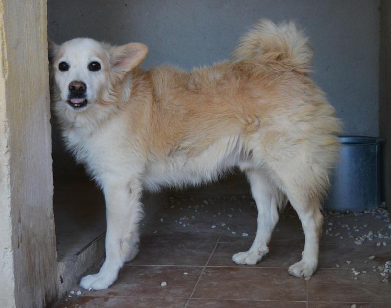 Bildertagebuch -  Bianco: grausam misshandelt sucht Hundeprofis denen er vertrauen kann - VERMITTELT - 24808014fj