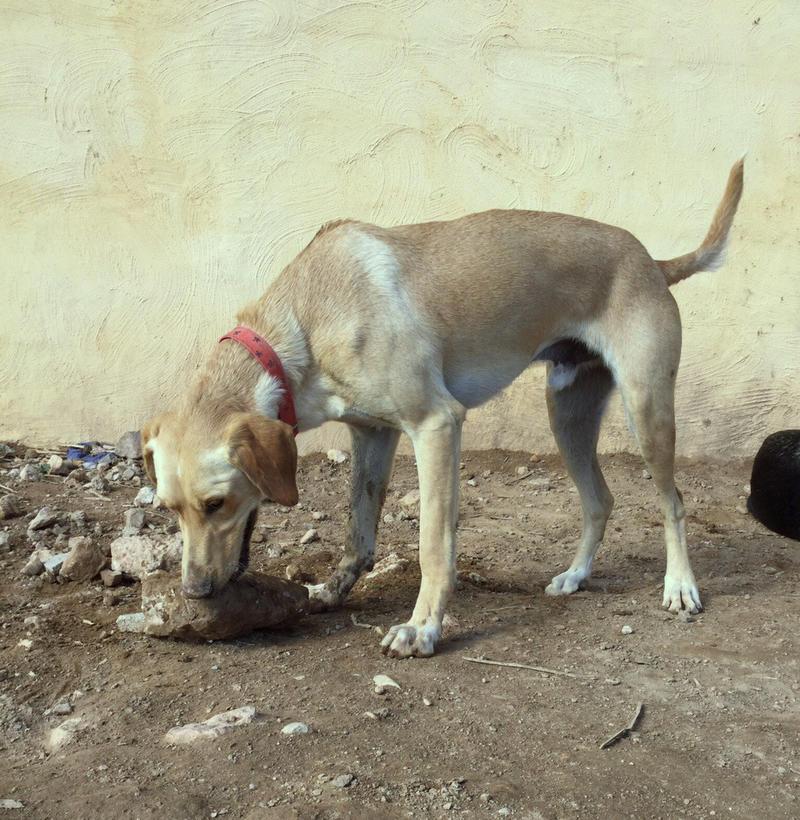 Bildertagebuch - BUSTER, ein Traumhund wurde streunend aufgefunden - VERMITTELT - 24994119vf