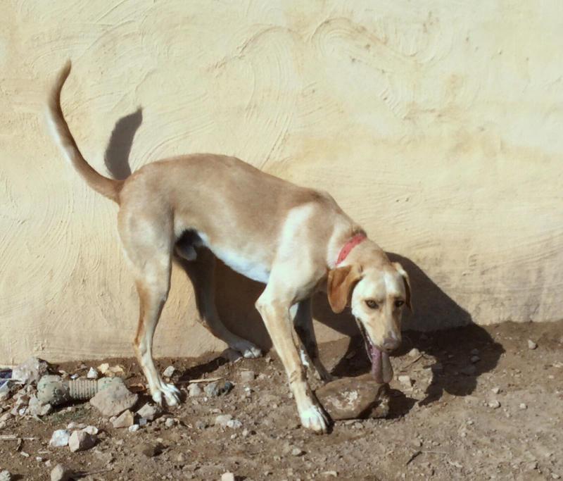 Bildertagebuch - BUSTER, ein Traumhund wurde streunend aufgefunden - VERMITTELT - 24994121mq