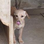 Bildertagebuch -  Belle:  junges,  aufgeschlossenes, hübsches Hundemädchen sucht aktive Familie! - in Griechenland ZUHAUSE GEFUNDEN! 25122593vx