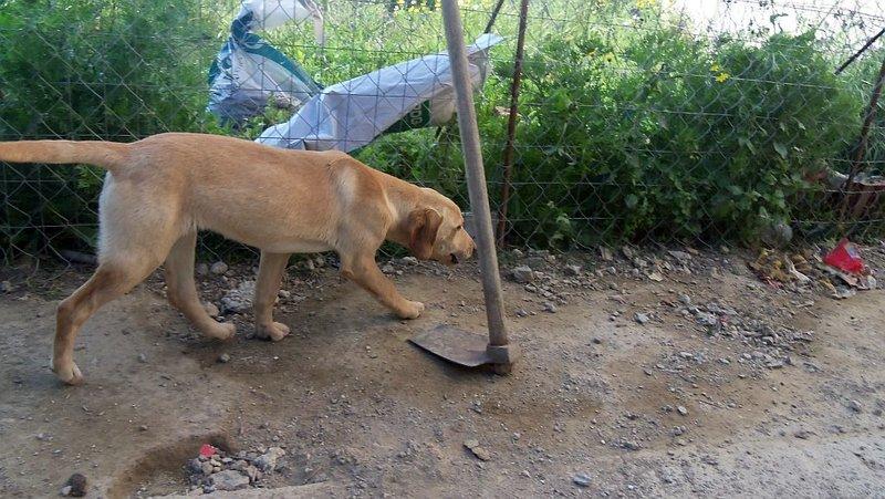 Bildertagebuch -  Belle:  junges,  aufgeschlossenes, hübsches Hundemädchen sucht aktive Familie! - in Griechenland ZUHAUSE GEFUNDEN! 25122597hw