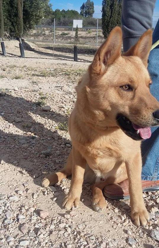 Bildertagebuch - Dingo, hübscher junger und verspielter Kerl ... Sie sind auf der Suche nach einem tollen Hundekumpel - VERMITTELT - 25281777oy