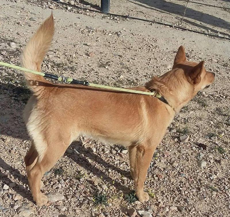 Bildertagebuch - Dingo, hübscher junger und verspielter Kerl ... Sie sind auf der Suche nach einem tollen Hundekumpel - VERMITTELT - 25281779sv