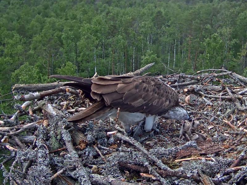 Estonian Osprey Nest Mai & Mati 2016 25822145we
