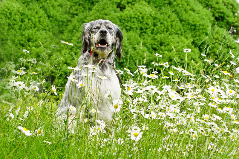 Bildertagebuch - Leon, freundlicher und anhänglicher Setterbursche liebt es bei Wind und Wetter durch die Wälder zu streifen - VERMITTELT - 25876679aq