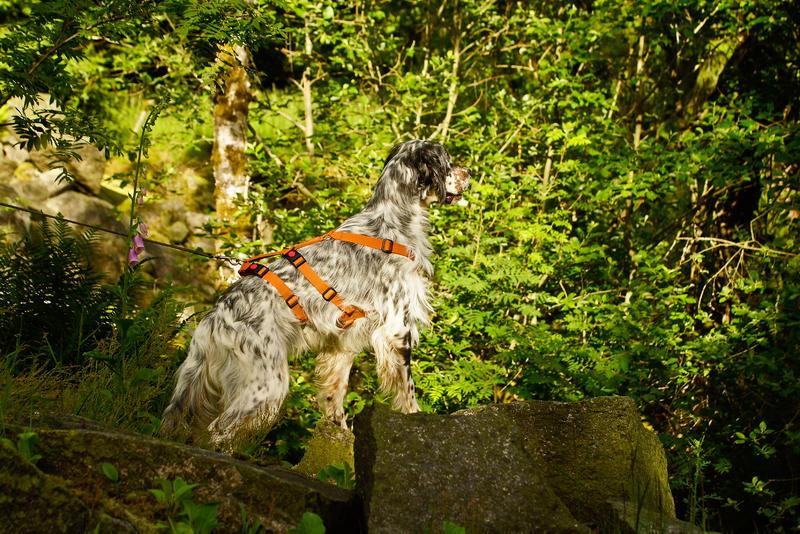 Bildertagebuch - Leon, freundlicher und anhänglicher Setterbursche liebt es bei Wind und Wetter durch die Wälder zu streifen - VERMITTELT - 25970116cs