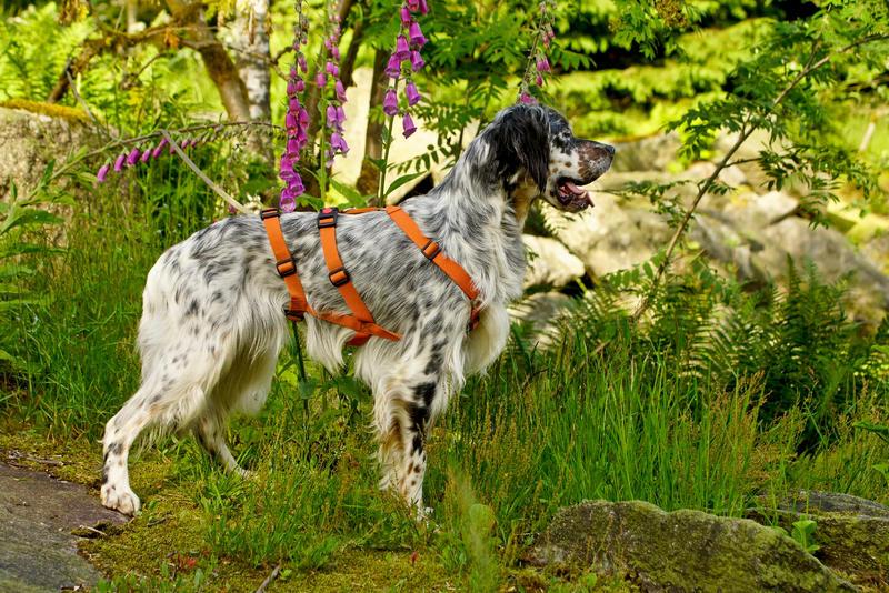 Bildertagebuch - Leon, freundlicher und anhänglicher Setterbursche liebt es bei Wind und Wetter durch die Wälder zu streifen - VERMITTELT - 25970733zs