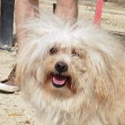 Bildertagebuch - Nico, kleiner süßer lieber Wuschel der seiner Familie viel Freude bereiten möchte ...hat sein ZUHAUSE in Spanien gefunden! 26081753uf