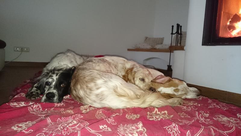 Bildertagebuch - Ginger lebt jetzt als Dauerpflegehund bei ihrer Pflegefamilie 26266955yl