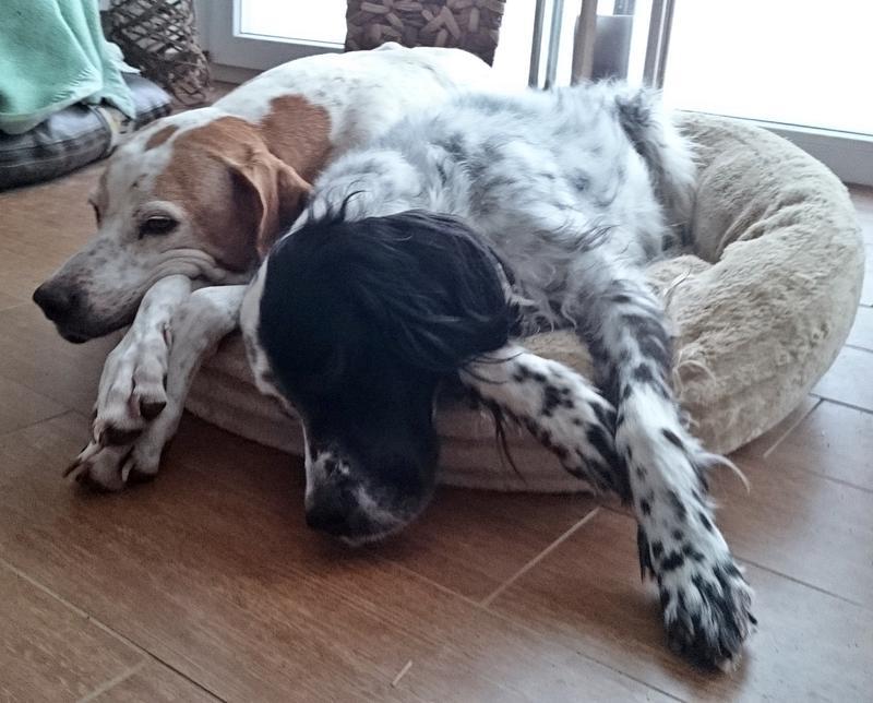 Bildertagebuch - Ginger lebt jetzt als Dauerpflegehund bei ihrer Pflegefamilie 26266980su