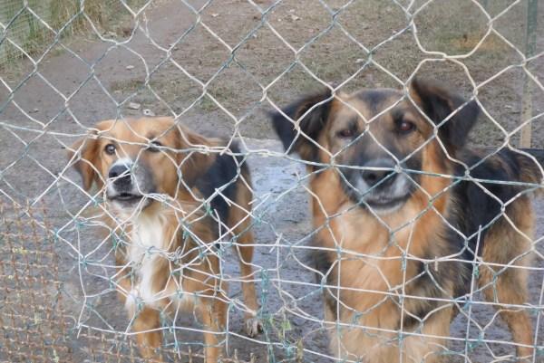 Bildertagebuch -  Urbania: Wunderschöne DOG VILLAGE- Hündin benötigt dringend Ihre Hilfe! über andere Orga  ZUHAUSE GEFUNDEN! 26455951pi