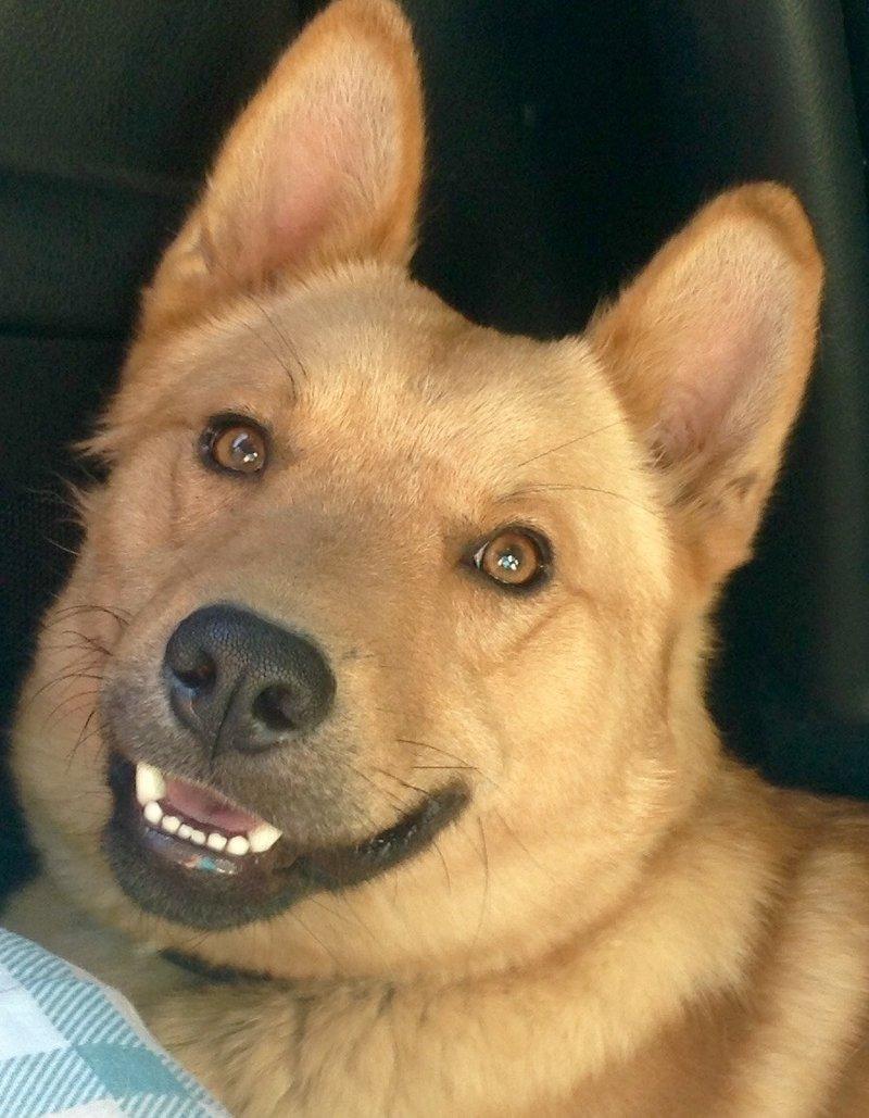 Bildertagebuch - Dingo, hübscher junger und verspielter Kerl ... Sie sind auf der Suche nach einem tollen Hundekumpel - VERMITTELT - 26520482ho
