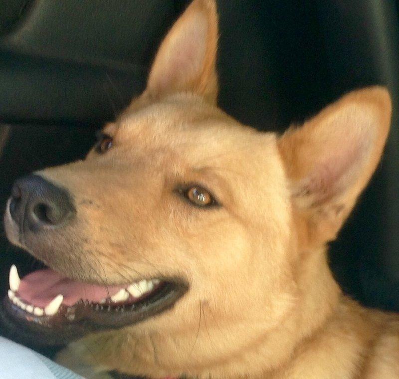 Bildertagebuch - Dingo, hübscher junger und verspielter Kerl ... Sie sind auf der Suche nach einem tollen Hundekumpel - VERMITTELT - 26520483fe