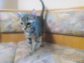 Kitty, geb. ca. April 2016 26619724zr