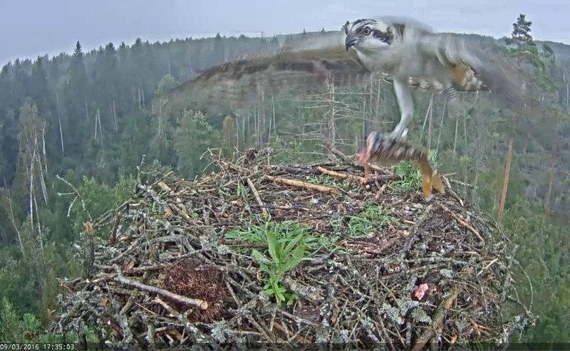 Estonian Osprey Nest ~Irma & Ivo~ 2016 - Page 2 26704273aa