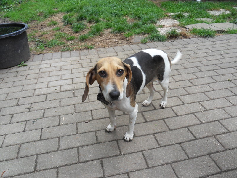 Bildertagebuch -  Nizza, jetzt Paula: Beagle- Dackel- Mix- Mädel mit ganz viel Charme- VERMITTELT! 26891714ks