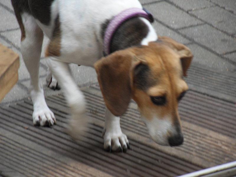 Bildertagebuch -  Nizza, jetzt Paula: Beagle- Dackel- Mix- Mädel mit ganz viel Charme- VERMITTELT! 26891715xb