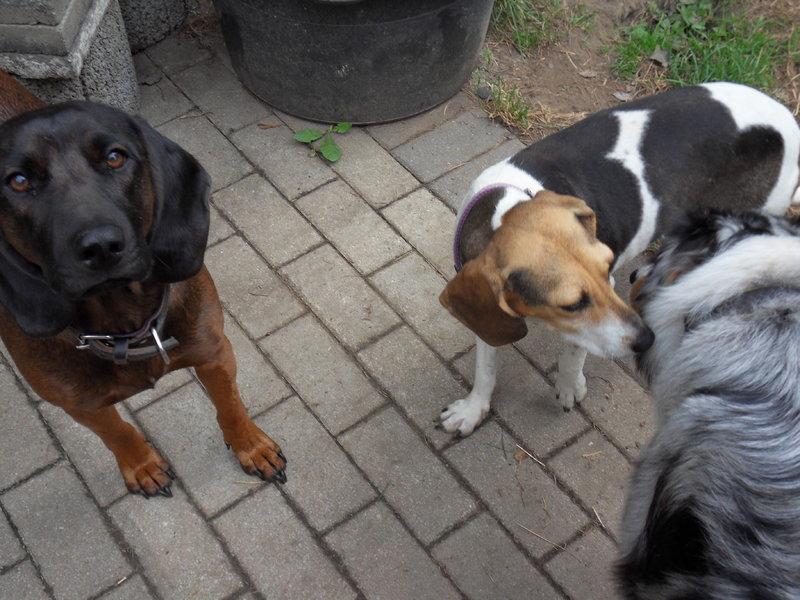 Bildertagebuch -  Nizza, jetzt Paula: Beagle- Dackel- Mix- Mädel mit ganz viel Charme- VERMITTELT! 26891716ql