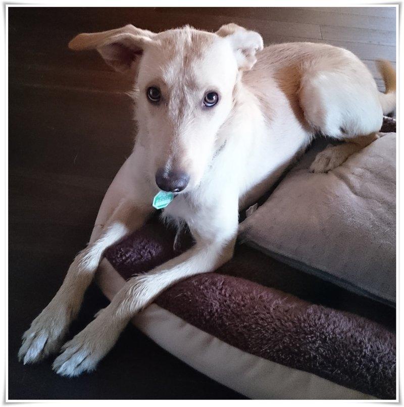Bildertagebuch -  Kenia: pfiffiges Hunde-Mädel sucht konsequente, liebe und  souveräne Familie! - VERMITTELT - 26891804ro