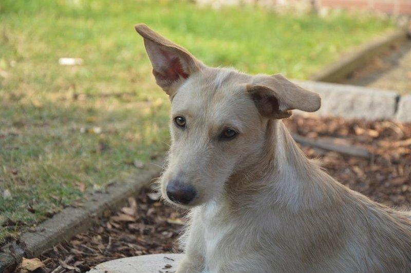 Bildertagebuch -  Kenia: pfiffiges Hunde-Mädel sucht konsequente, liebe und  souveräne Familie! - VERMITTELT - 26933126zx