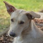Bildertagebuch -  Kenia: pfiffiges Hunde-Mädel sucht konsequente, liebe und  souveräne Familie! - VERMITTELT - 26933127pk