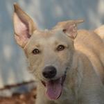 Bildertagebuch -  Kenia: pfiffiges Hunde-Mädel sucht konsequente, liebe und  souveräne Familie! - VERMITTELT - 26933129yv