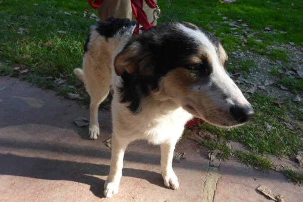 Bildertagebuch - Memory, ein ganz freundliches junges Hundemädel ...über andere ORGA ZUHAUSE GEFUNDEN! 27118739ux