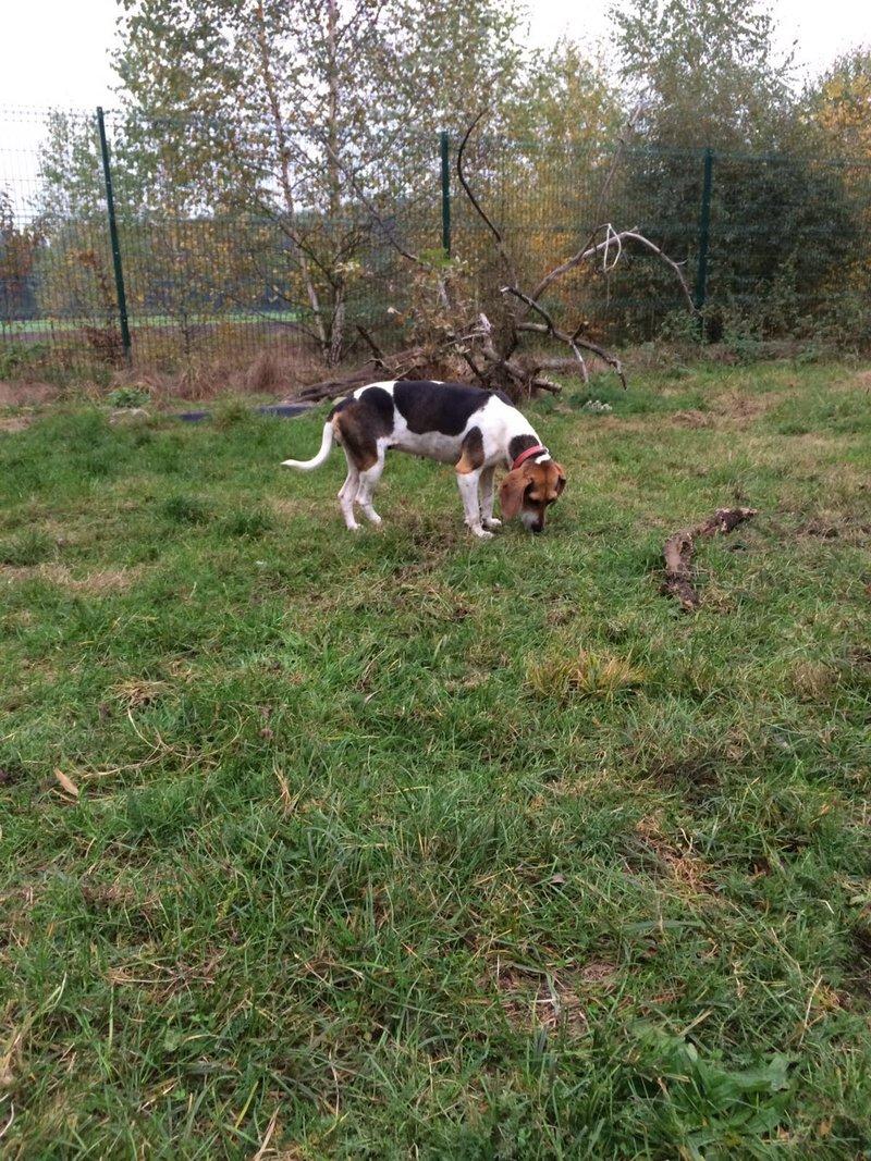 Bildertagebuch -  Nizza, jetzt Paula: Beagle- Dackel- Mix- Mädel mit ganz viel Charme- VERMITTELT! 27348333wz