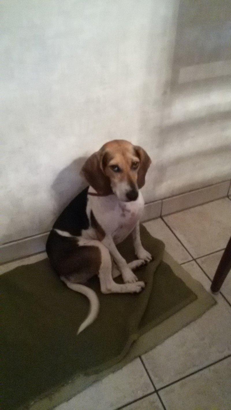 Bildertagebuch -  Nizza, jetzt Paula: Beagle- Dackel- Mix- Mädel mit ganz viel Charme- VERMITTELT! 27348341fm