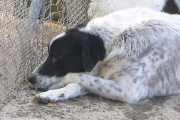 Bildertagebuch - Alwin, ein Junghund vom Pech verfolgt, hofft auf das große Glück...VERMITTELT! 27429310ge