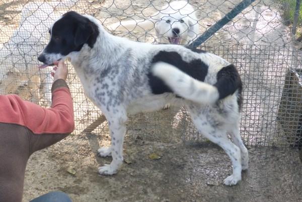 Bildertagebuch - Alwin, ein Junghund vom Pech verfolgt, hofft auf das große Glück...VERMITTELT! 27429315ol