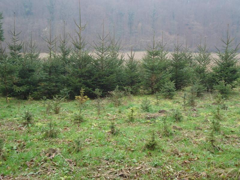 Uzgoj božićnih drvaca 27535614pp