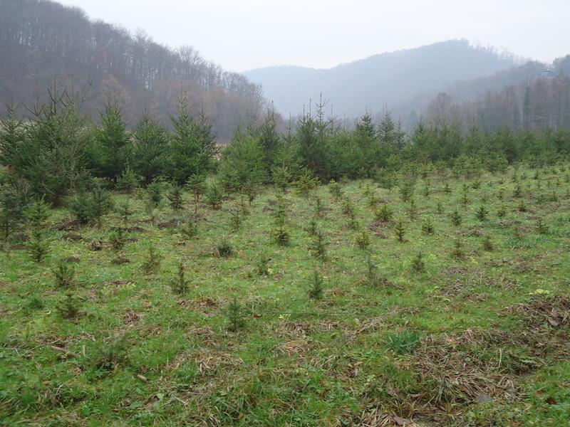 Uzgoj božićnih drvaca 27535615su