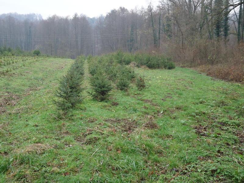 Uzgoj božićnih drvaca 27535616bt