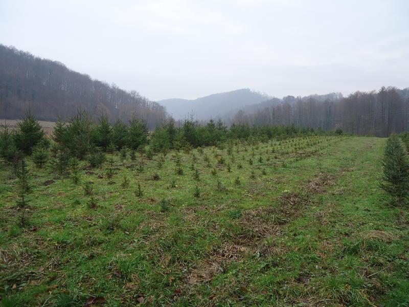 Uzgoj božićnih drvaca 27535617yn