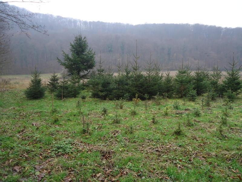 Uzgoj božićnih drvaca 27535619sn