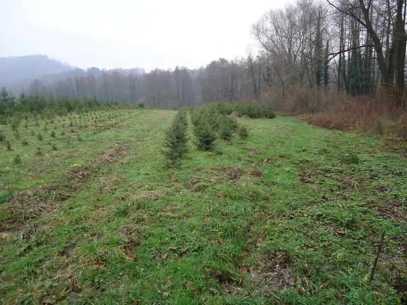 Uzgoj božićnih drvaca 27535620qr