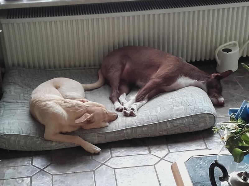 Bildertagebuch -  Kenia: pfiffiges Hunde-Mädel sucht konsequente, liebe und  souveräne Familie! - VERMITTELT - 27702939ih